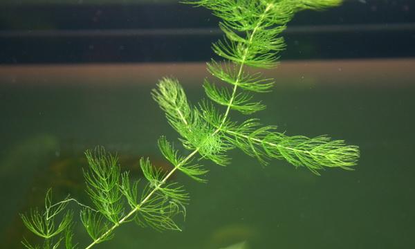 Аквариумные растения: роголистник, валлиснерия, криптокорина недорого