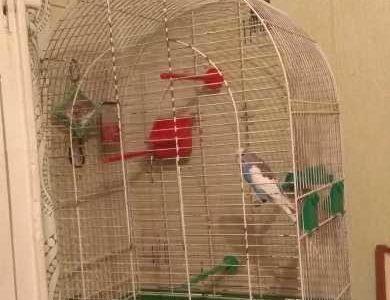 Продам попугая, порода (волнистик)