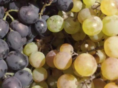 Продам виноград черный и белый
