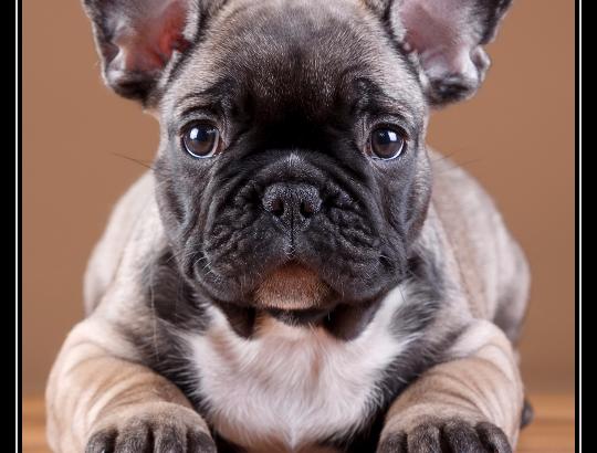 Очаровательные щеночки французского бульдога