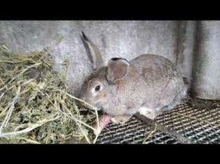 Продам кроликов породы бабочка