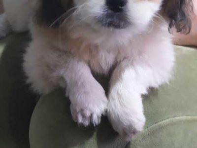 Продам щенков породы Пикинес