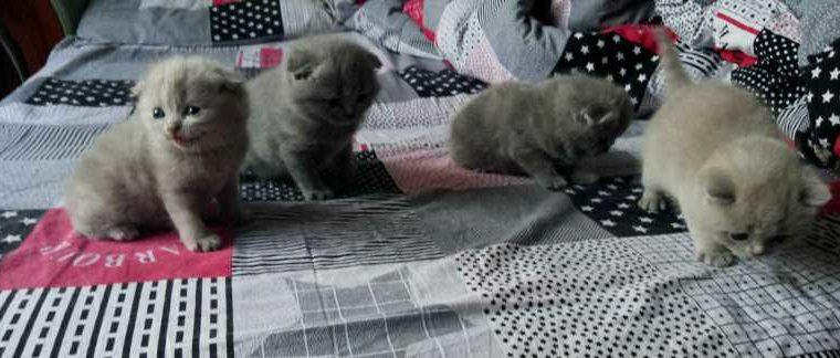 Продам породистых котят