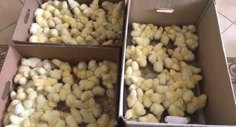 Суточный и подрощенный цыпленок
