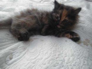 Продаю Котёнка (девочка) порода СИБИРСКАЯ