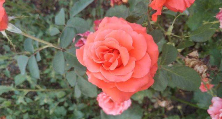 Продам Розы