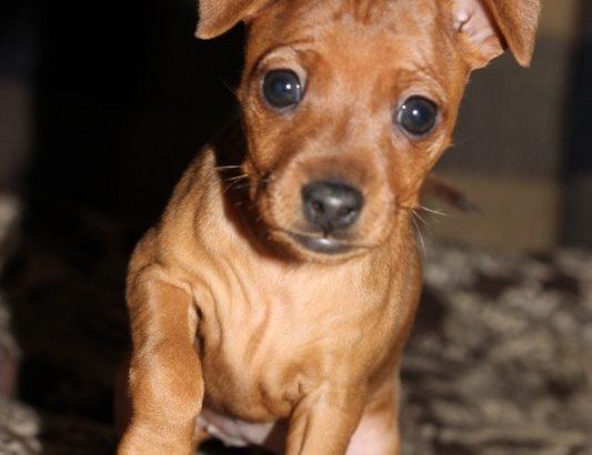 Продам щенков цвергпинчера 1.5 мес .