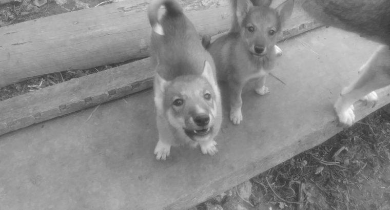 Продаются щенки Западносибирская лайка
