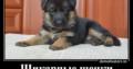 Продается щенок немецкой овчарки!!!