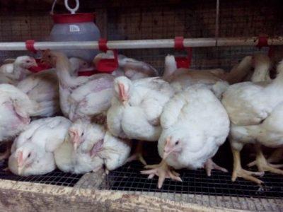 Продам цыплят Бройлеров кобб 500