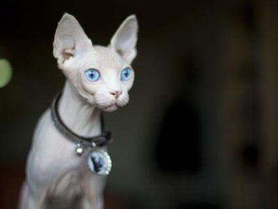 Я покупаю котенка сфинкса женский