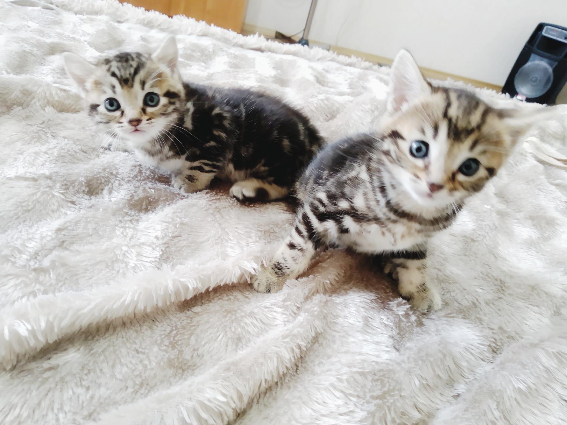 Продам котенка бенгала