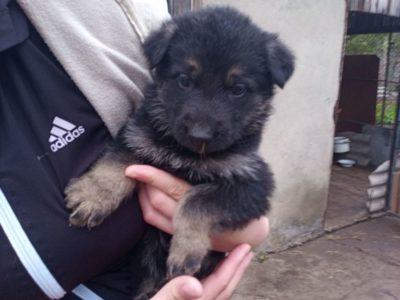 Продам щенков Восточноевропейской овчарки.