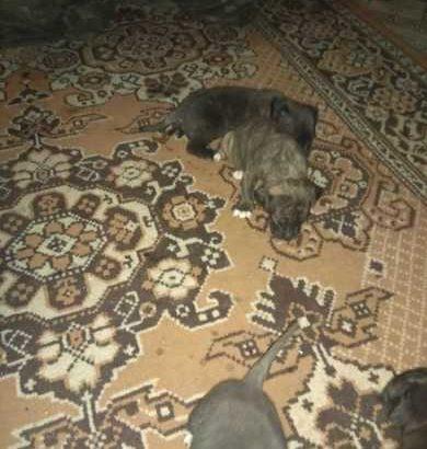 Готовятся к продаже щенки Кане-корсо