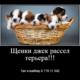 Щенки джек рассел терьера (фильм Маска)!!! По разумной цене