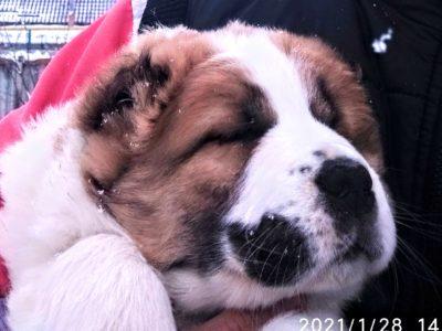 Продается щенок Алабая хороших кровей