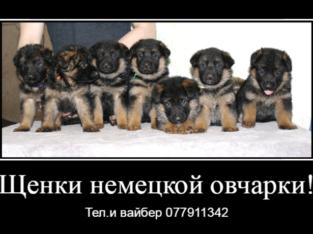 Предлагаются к продаже щенки немецкой овчарки!