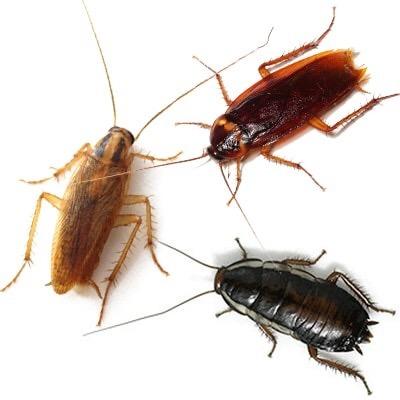 Чем травить тараканов и клопов