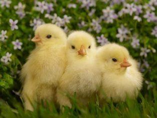 Инкубационные яйца бройлера маркированные от птицефабрик