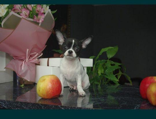 Chihuahua FCI