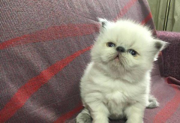Экзотическая кошка (экзот-экстримал). Редкий окрас