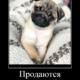 Продаются щенки королевского мопса