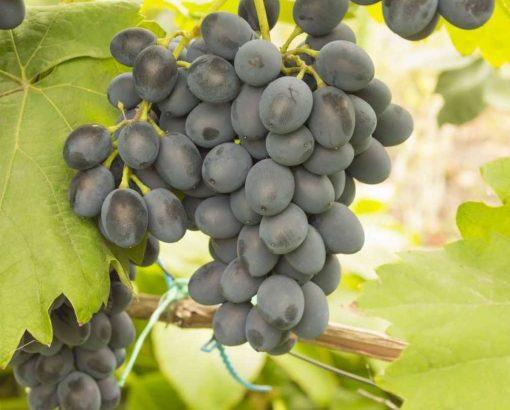 Struguri de poamă pentru consum personal sau vin