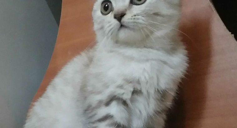 Продам шотландского котика